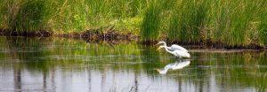 egrets in creek